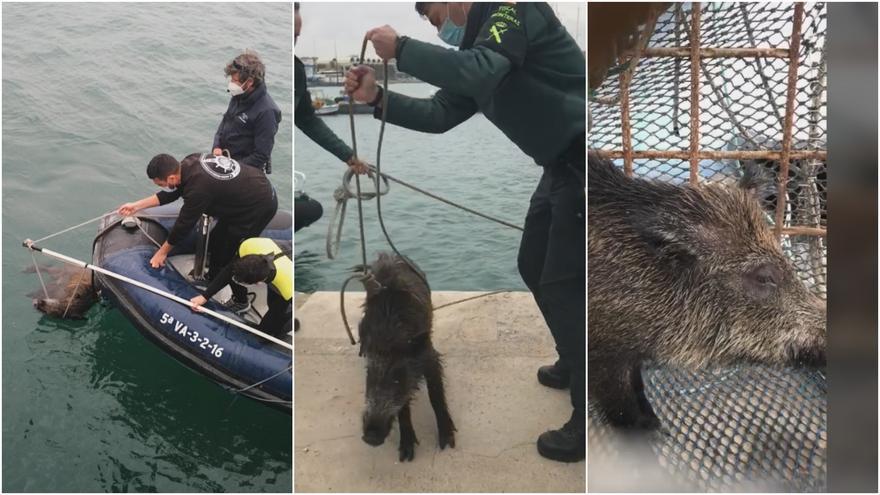 Del Cabanyal a la Marina: el trayecto del jabalí rescatado en el puerto de València