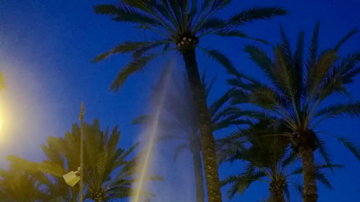 Intensifican la poda en palmeras y la lucha contra el picudo en Murcia