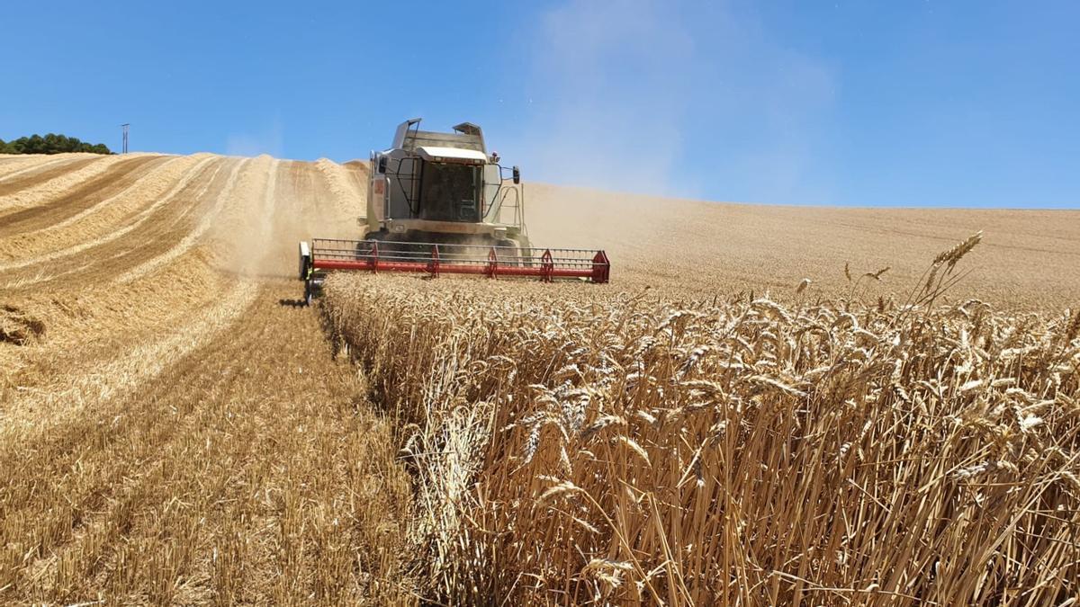 Una cosechadora trabajando en un campo cultivado de cereal.