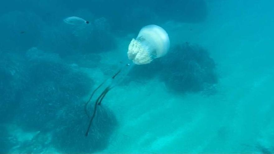 Aparecen otras dos medusas gigantes