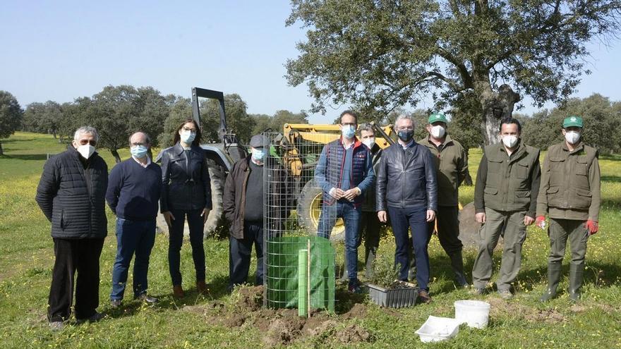 El proyecto El Dehesafío inicia la siembra de 800 encinas en Los Pedroches