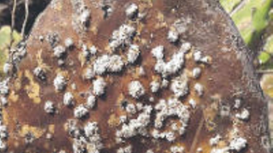 La plaga de cochinilla mexicana destruye miles de tuneras en la Isla