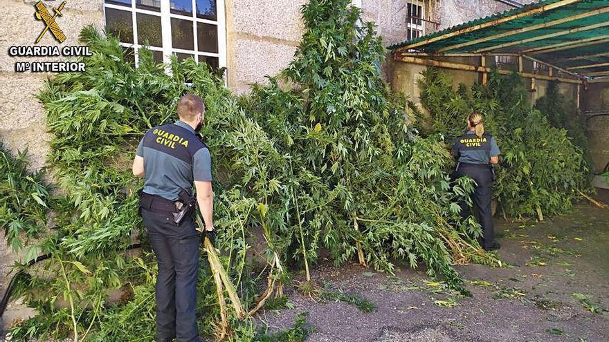 La Guardia Civil se incauta de 200 plantas de marihuana en Salvaterra, As Neves y Tui