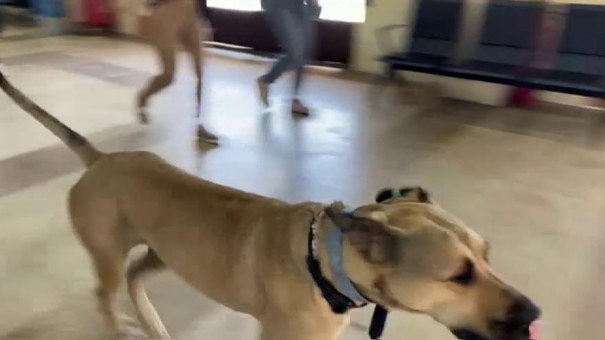 VIDEO | Conoce a Boji, el perro más viajero en autobús