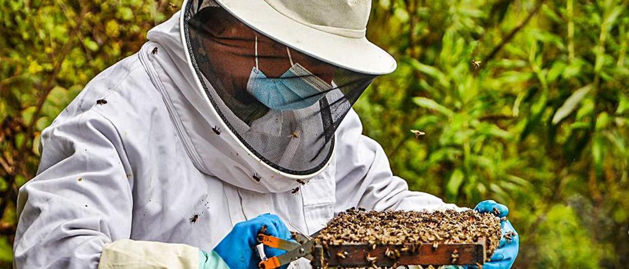 Gutiérrez atiende a las abejas de uno de sus panales. | |