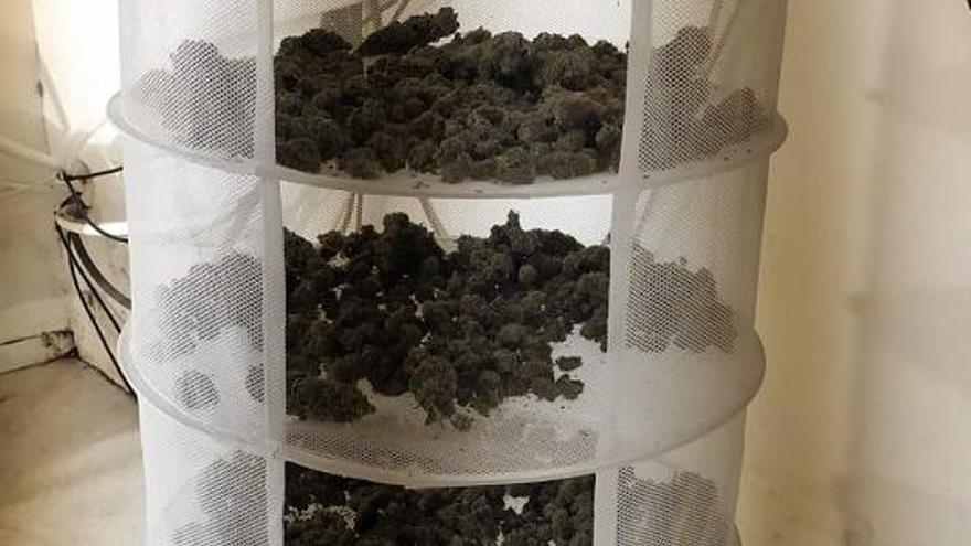 Cogollos de marihuana internvenidos en la operación Selva Negra