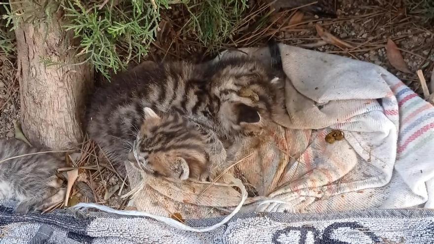 Abandonan seis cachorros de gato con el hocico atado en Torrent