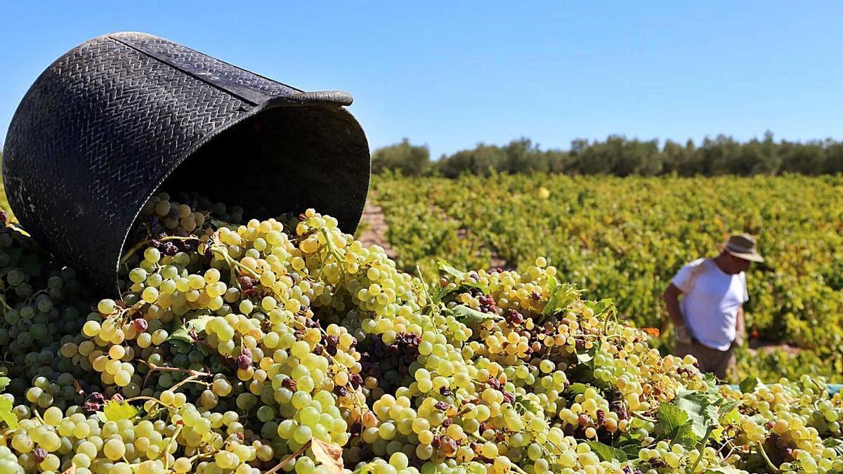Remolque cargado de uva de la variedad Pedro Ximénez.