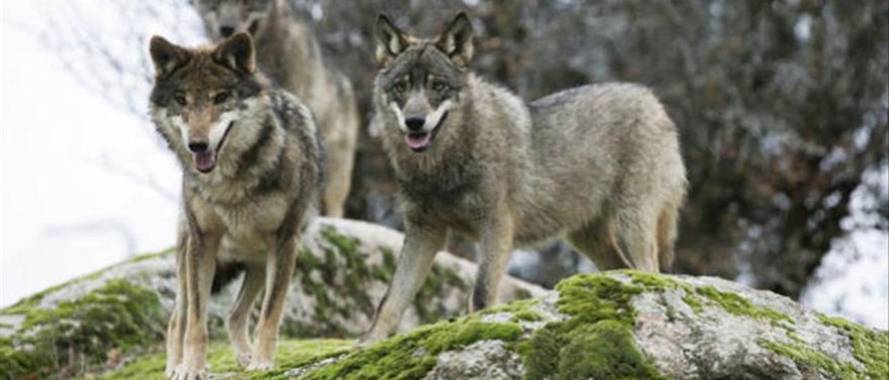 Varios lobos