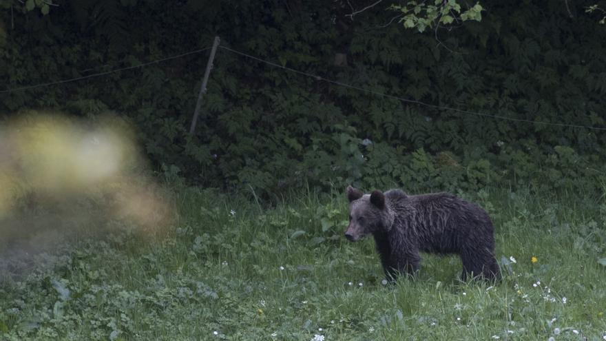 El pueblo, refugio de osos jóvenes y hembras con cría que huyen de machos dominantes