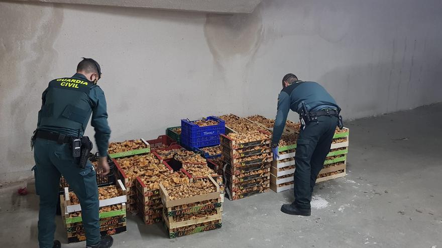 La Guardia Civil de Soria aprehende 580 kilogramos de níscalos e identifica a 17 personas