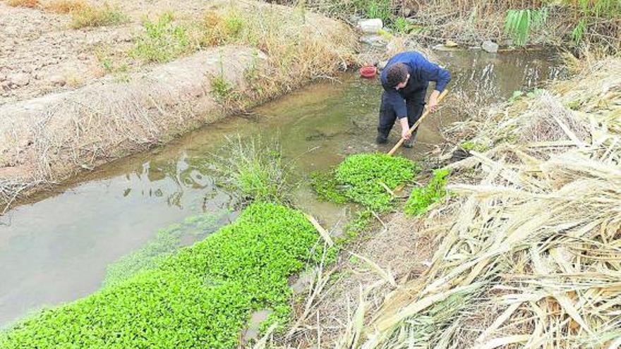 Alfafar da 15 días a la acequia de Favara para eliminar una planta peligrosa para l'Albufera