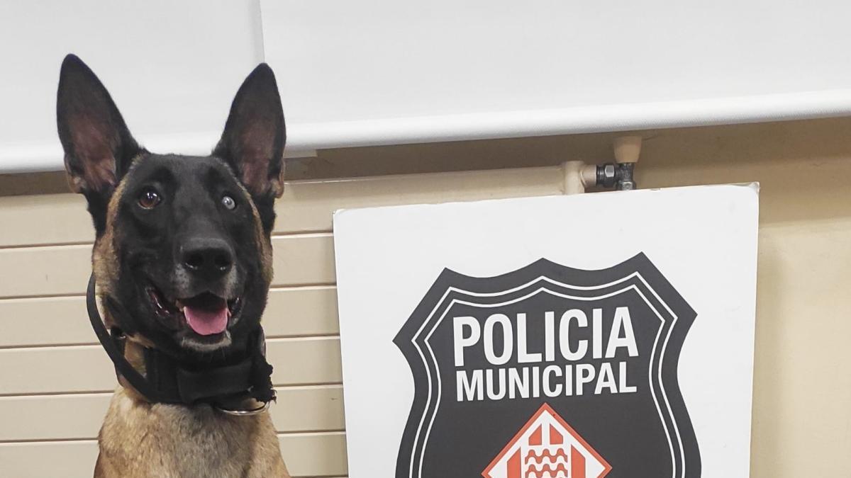La Laika, la gossa de la Policia Municipal, que va descobrir la droga -