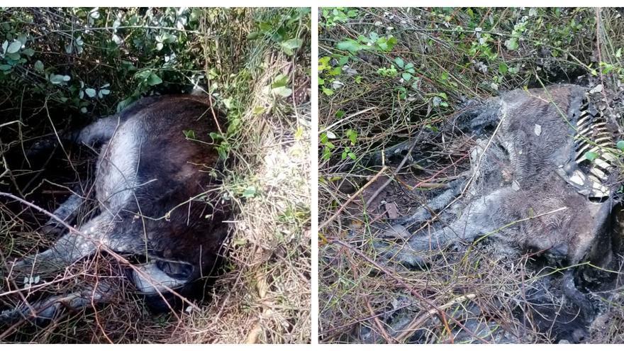 Encuentran abandonado en Cabanes el cadáver de un burro del Desert