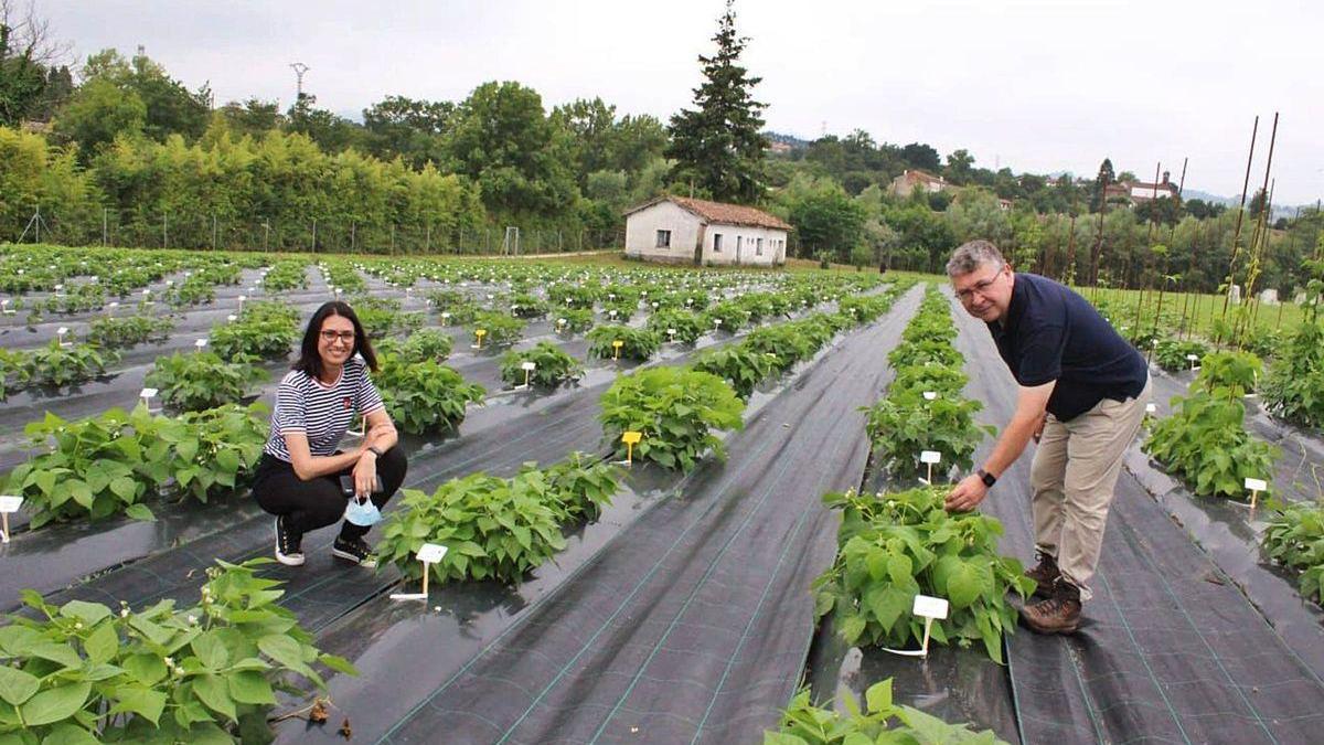 Los investigadores Ana Campa y Juan José Ferreiras, en un cultivo de judías en el Serida, en Villaviciosa.