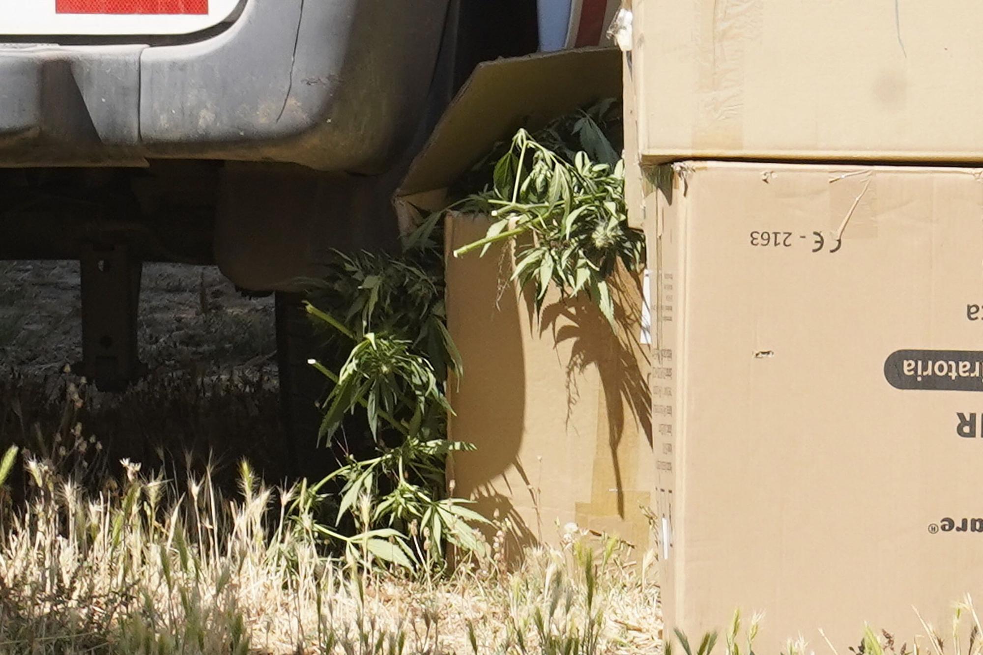 Plantació de marihuana en un mas de Quart