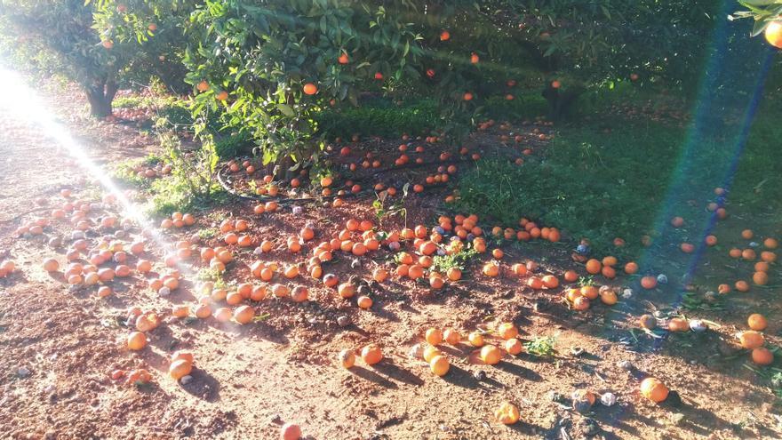 Miles de naranjas por los suelos en la Marina Alta tras en el vendaval
