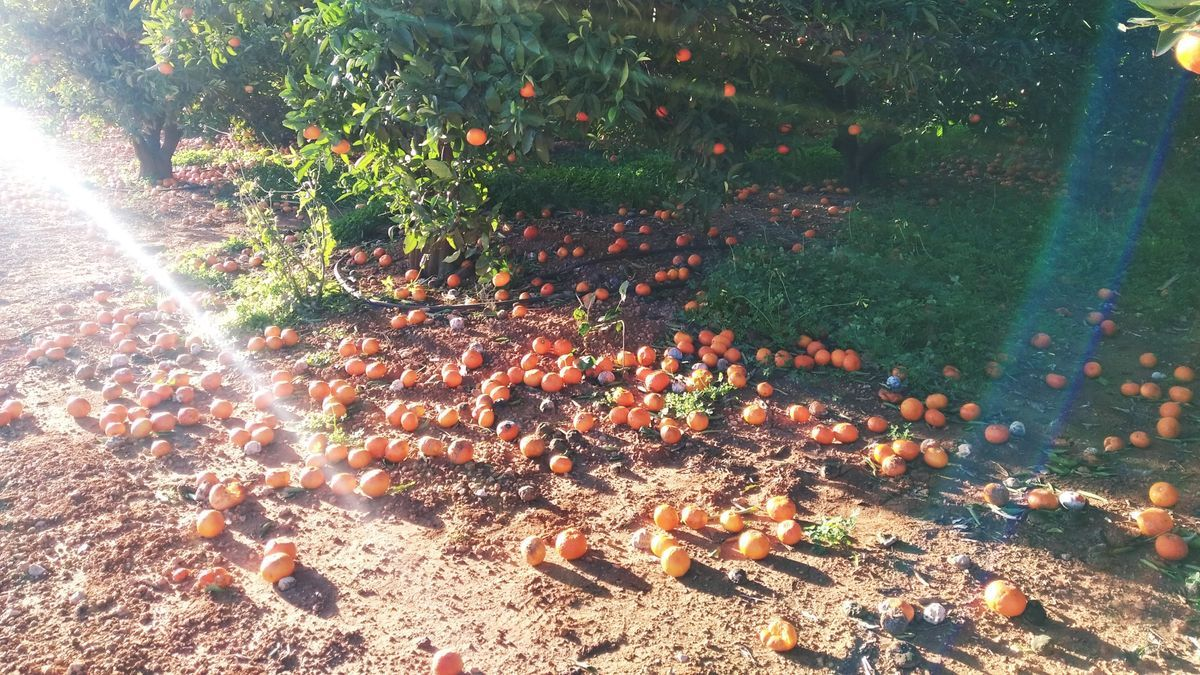 Naranjas tiradas en el suelo en un campo de Pedreguer