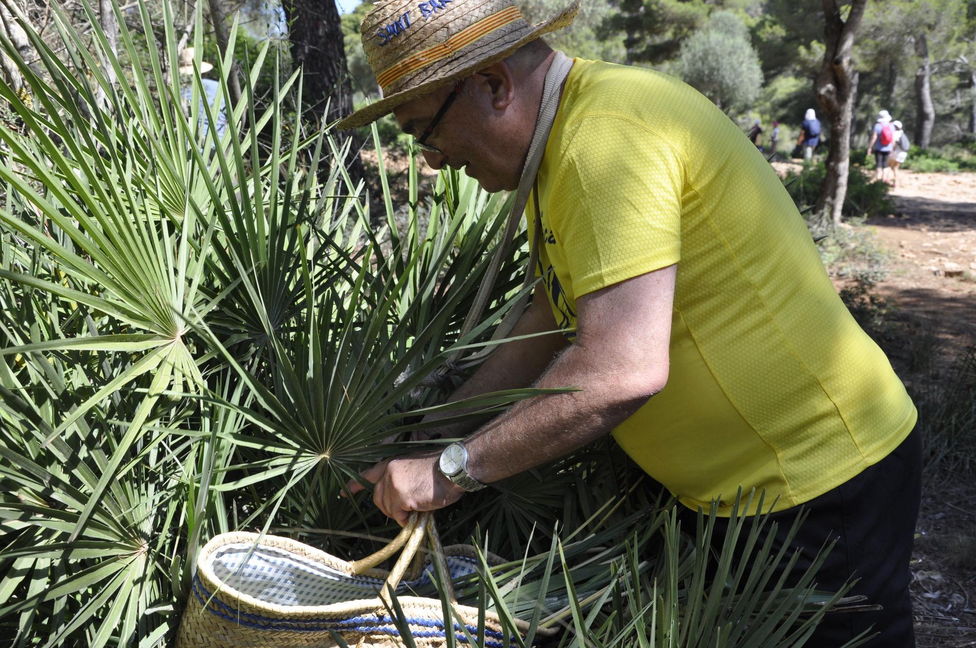 Capdepera recolecta 100 kilos de palmito para las 'Madones de la llata'