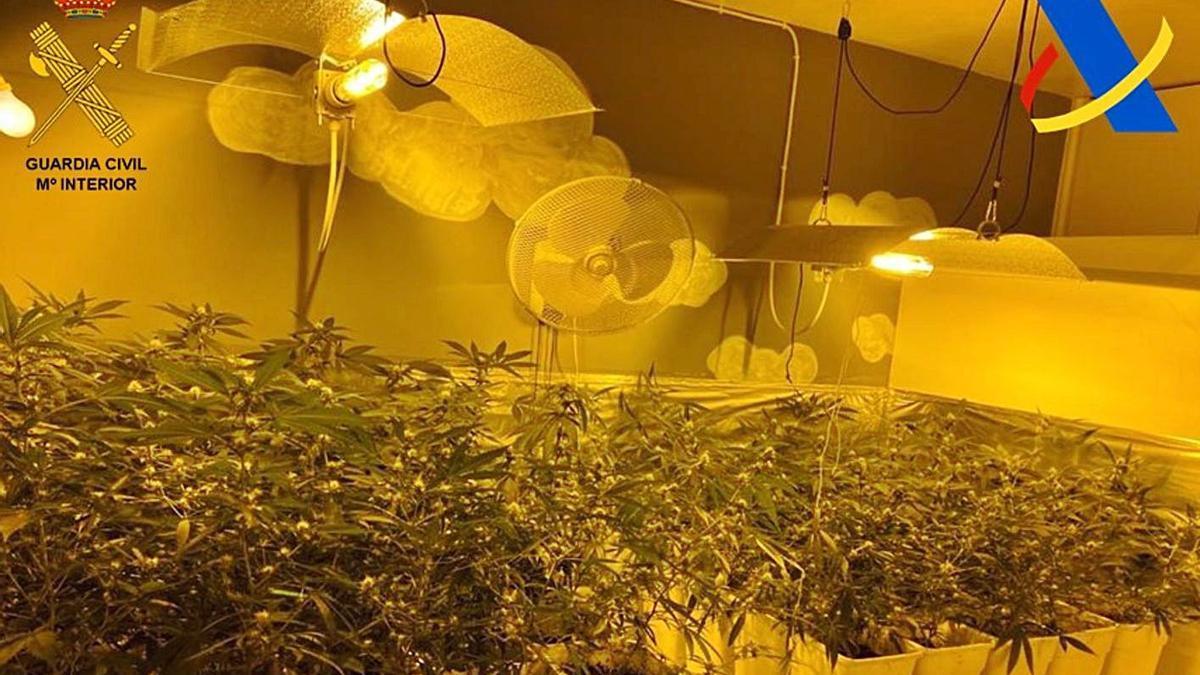Plantas de marihuana requisadas a la red desmantelada en el Sur de la Isla.
