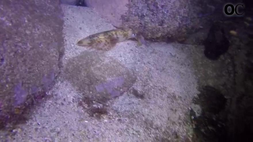 El curioso final de un parto de calamares en Galicia