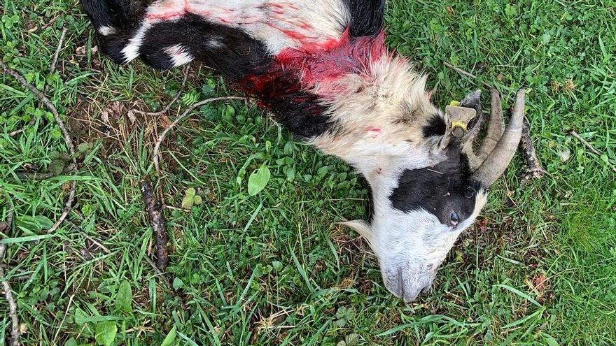 Ataques de oso en Quirós acaban con la vida de ocho animales
