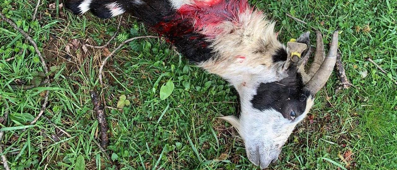 Uno de los animales muertos tras el ataque del oso en Quirós.