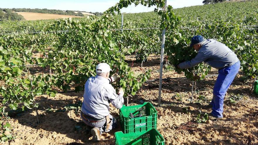 Arranca la vendimia en la DOP Valles de Benavente con menos uva, pero de buena calidad