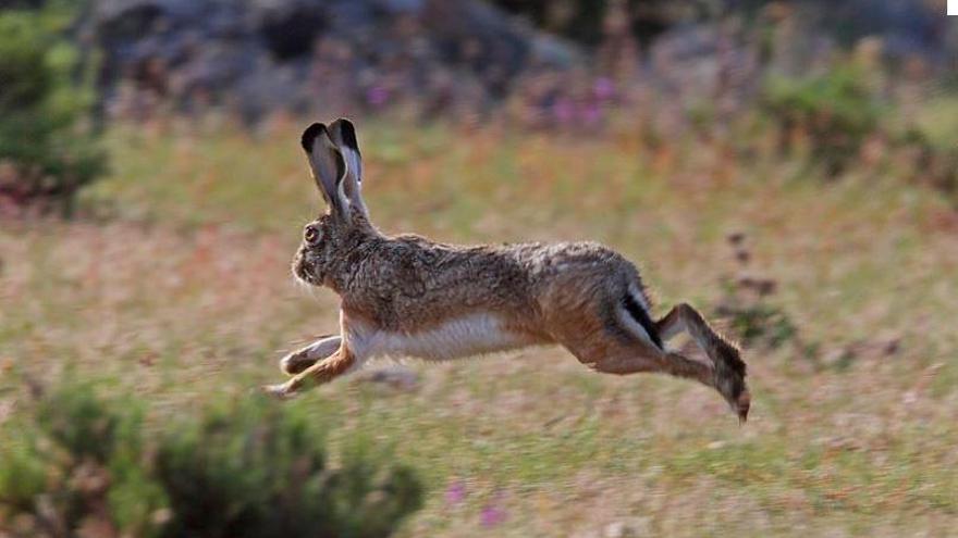 Die Kaninchenpest rafft nun die Hasen auf Mallorca dahin