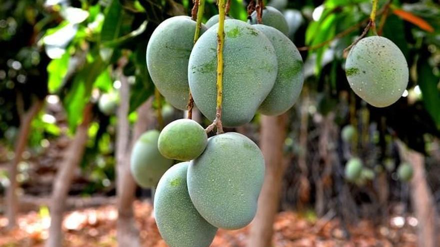 Adquieren 6.000 kilos de manga roja de La Palma para evitar desperdicio alimentario