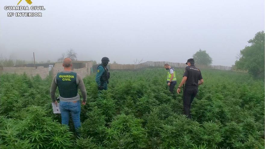 25 detenidos con casi 15.000 plantas de marihuana en Alcoy, Benifallim y Cocentaina