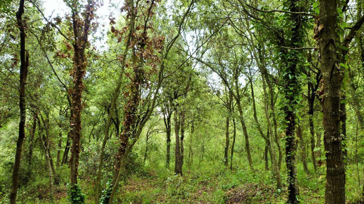 Bosc d'alzines a les Gavarres