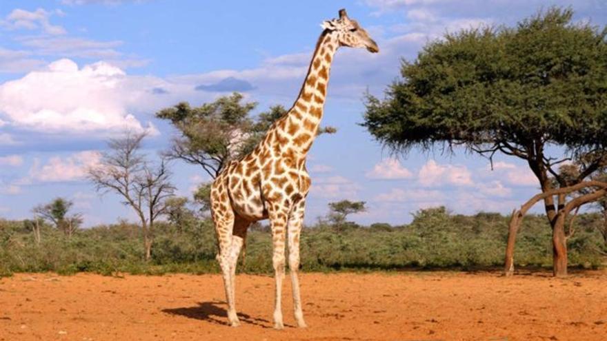 ¿Cuántas especies de jirafas hay? La ciencia descubre cuatro linajes