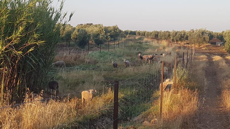 El pastoreo, alternativa para el mantenimiento de la vía verde de La Campiña