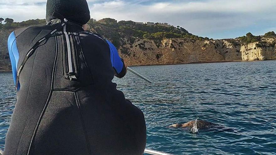 Injecten amb una sarbatana un antibiòtic a la foca grisa a la costa del Portitxol de Xàbia