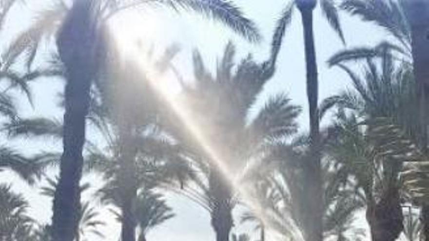 El Síndic recrimina a Orihuela su falta de información sobre el picudo