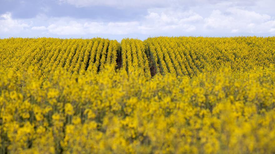 COAG pronostica buena cosecha de trigo y colza, y menor en cebada