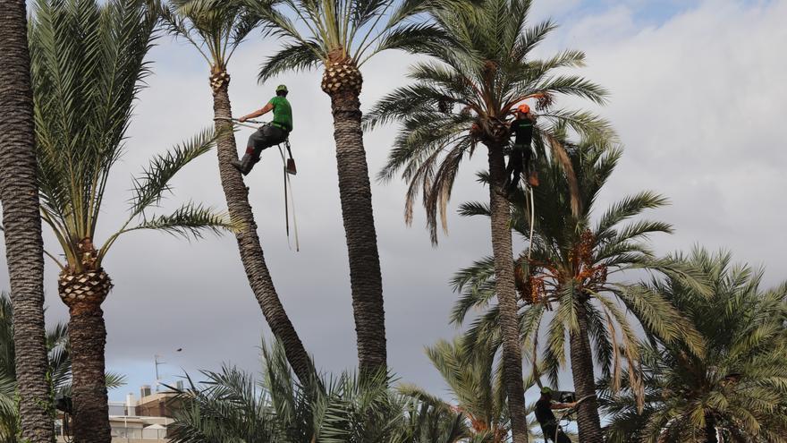 Funcionarios municipales rechazan la privatización de la poda de palmeras de Elche