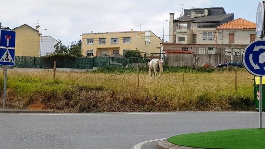 """Libera denuncia un caballo atado """"de forma perpetua"""" en Oleiros"""