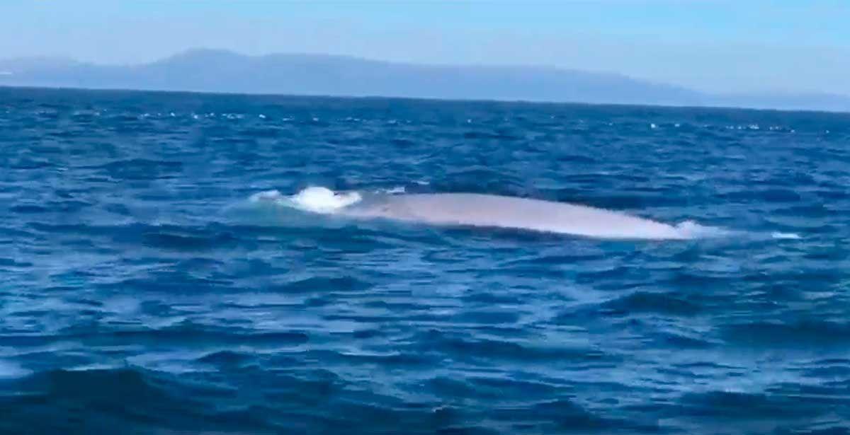Una ballena azul se da un festín cerca de Ons