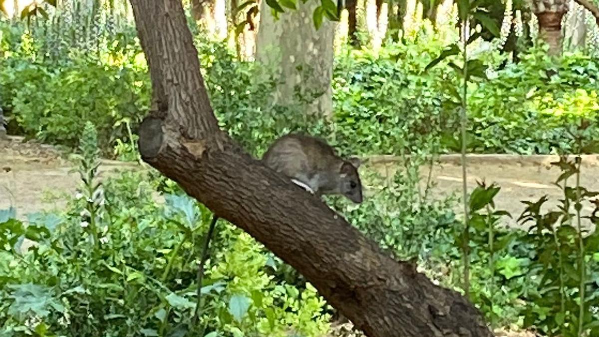 Imagen de una rata en el paseo Ribalta, esta mañana.