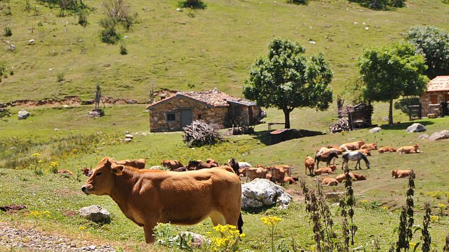 Asturias quiere ser zona libre de tuberculosis bovina al bajar la prevalencia