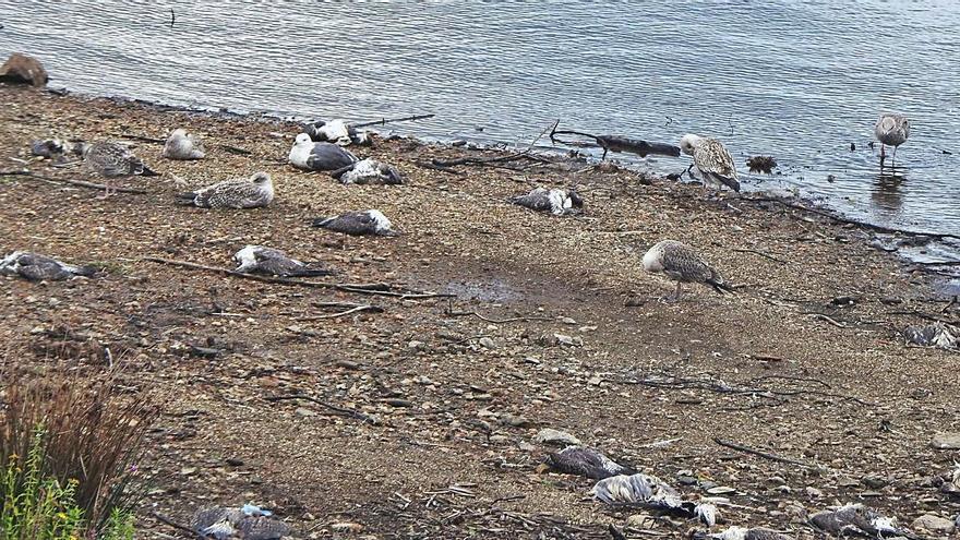 Mortandad masiva de gaviotas en Vilagudín