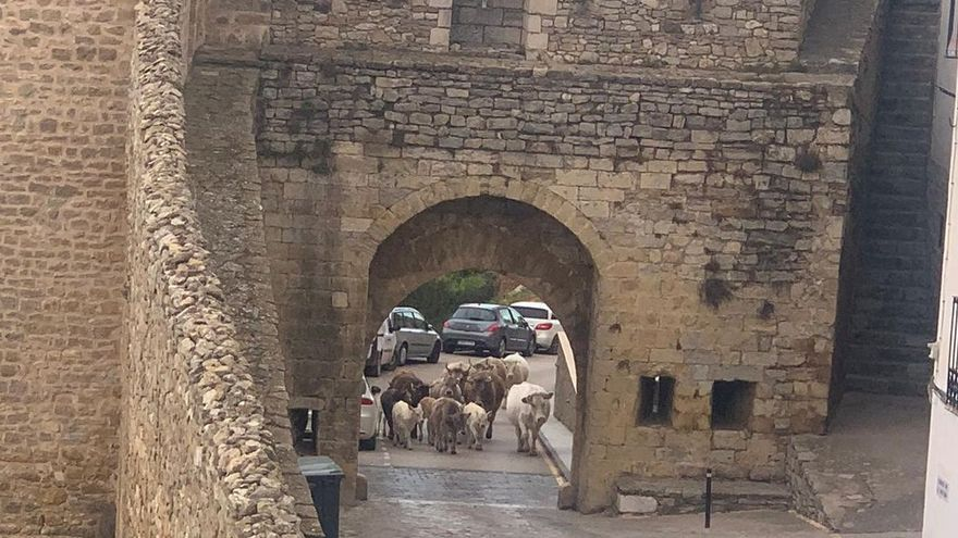 Un rebaño de vacas a la fuga, a punto de 'invadir' Morella