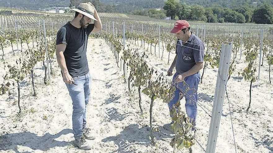 La Xunta promete ayudas técnicas por las heladas en los viñedos gallegos
