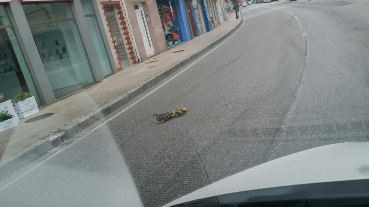 Los patos, fotografiados desde un coche.