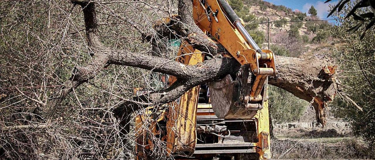 La xylella sigue su expansión y afecta ya a una superficie de 149.700 hectáreas en la provincia