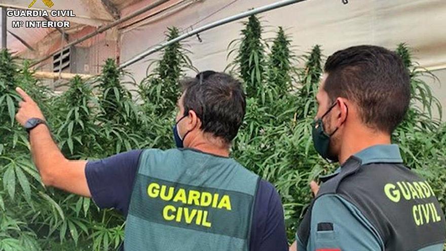 Intervienen 34.000 plantas de marihuana en empresas de cáñamo en Cox  y Orihuela