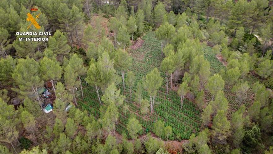 La mayor plantación de marihuana del país, oculta junto a un río en Yàtova