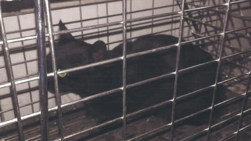 Garachico empieza a vacunar y esterilizar a los gatos callejeros